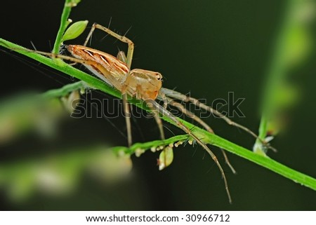lynx spider in the parks