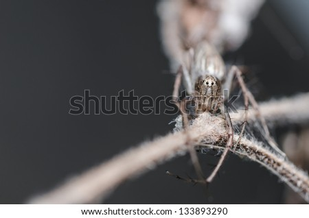 Lynx spider or Oxyopes javanus Throll in the nature