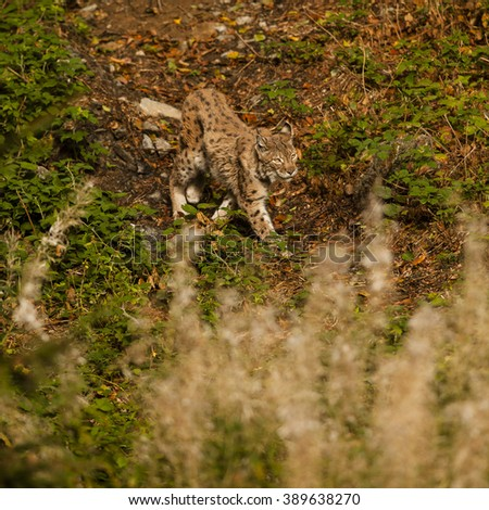Lynx walking across the low bush. Close up wildlife photography.