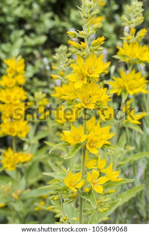 Lysimachia punctata (Garden Loosestrife), shallow DOF - stock photo