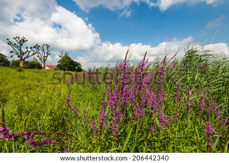 Lythrum salicaria with flowering Purple Loosetrife or Lythrum salicaria plants in the foreground and historical buildings in the background. - stock photo