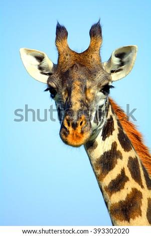 Maasai giraffe, Maasai Mara Game Reserve, Kenya - stock photo