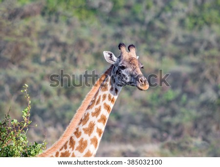 Maasai giraffes in Crater Ngorongoro National Park - Tanzania, Eastern Africa - stock photo