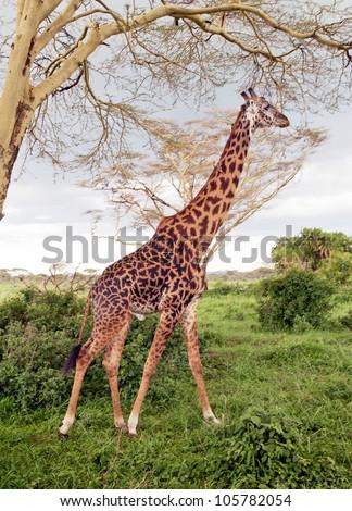 Maasai giraffes in Serengeti National Park - Tanzania, East Africa - stock photo