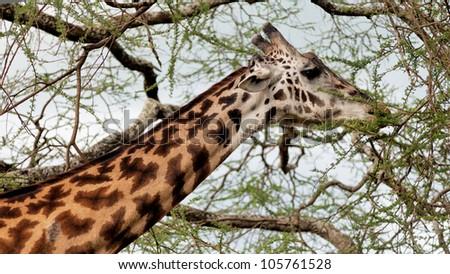 Maasai giraffes in the Crater Ngorongoro National Park, Tanzania - stock photo
