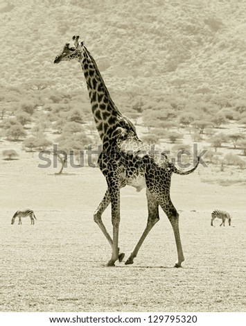 Maasai giraffes in the Crater Ngorongoro National Park - Tanzania, Eastern Africa (stylized retro)