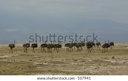 Maasai ostrich 8,04 - stock photo