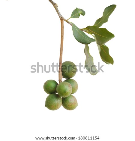 macadamia nut isolated on white background