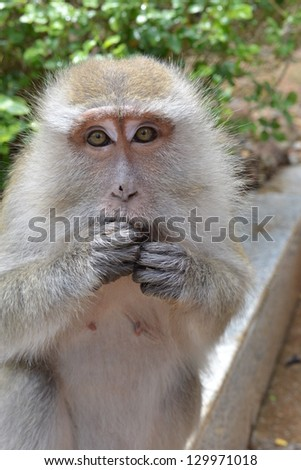 Macaque closeup.