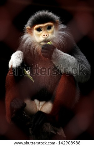 Macaque in a cage at the Zoo, Thailand - stock photo