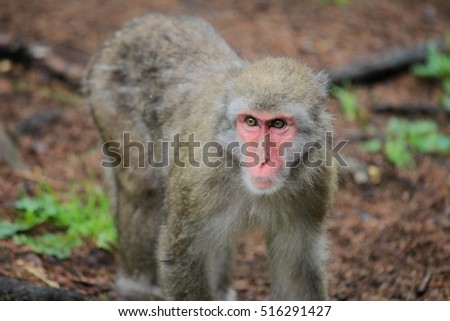 Macaque Japanese