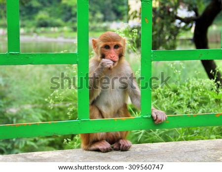 Macaque monkey on the fence near Sacred Lake in Rewalsar city (Tsopema), Himachal Pradesh, India