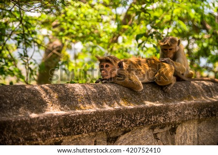 macaque monkey on the wall of the temple