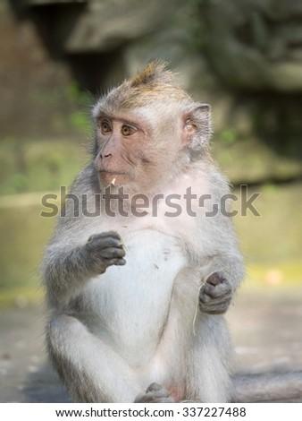 Macaque monkey, Ubud monkey sanctuary - stock photo