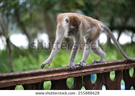 Macaque monkey walking on the wooden railing in Bako national park in Borneo, Malaysia - stock photo