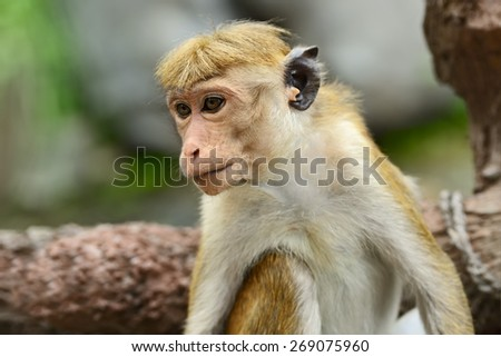 Macaque monkeys in the savanna park Yala - stock photo