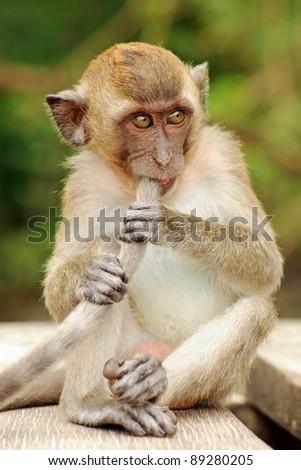 Macaque on Ao Nang Beach, Krabi, Thailand - stock photo