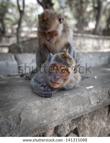Macaques have fun - crab-eating macaque or the long-tailed macaque (Macaca fascicularis), Bali. - stock photo