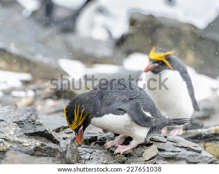 Macaroni penguin on the stones in Antarctica - stock photo