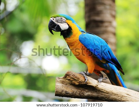 Macaw Bird [Ara ararauna] sitting on log. - stock photo