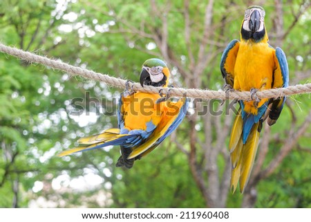 Macaw birds playing or hangning on a rope - stock photo