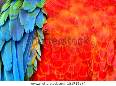 Macaw feathers with red fire blue and green in vivid color, parrot bird feathers texture - stock photo