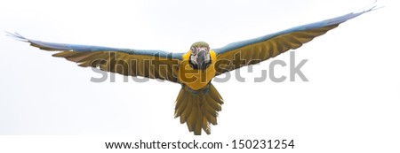 Macaw in flight on white background - stock photo