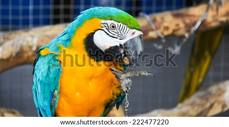 Macaw is eating the peanut