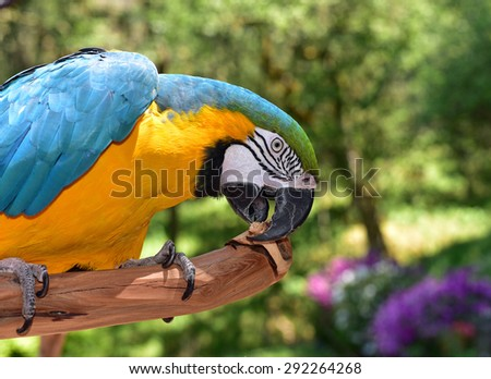 Macaw Parrot chewing on wood - stock photo