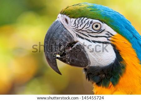Macaw parrot closeup - stock photo