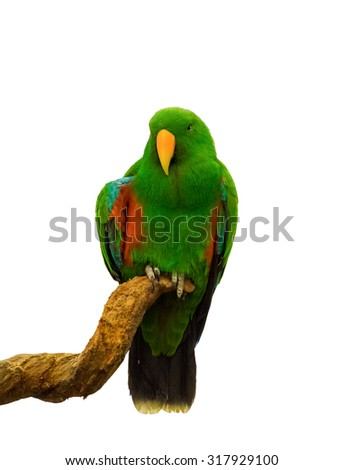 Macaw parrot green holding wood white background - stock photo