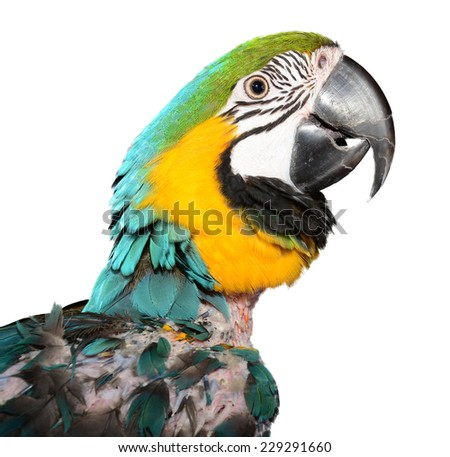 Macaw Parrot with Feather Damage. Plucking Parrot