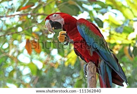 Macaw Parrots - stock photo