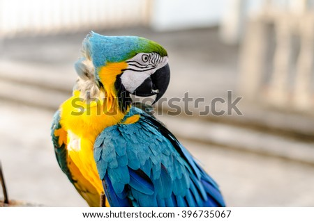 Macaw yellow and blue feather isolate white background