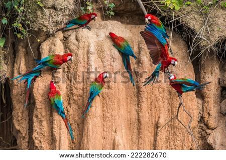 macaws in clay lick in the peruvian Amazon jungle at Madre de Dios Peru - stock photo