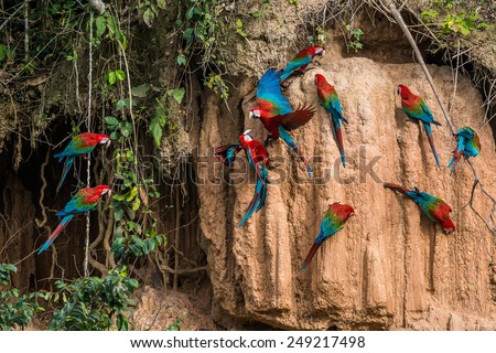 macaws in clay lick in the peruvian Amazon jungle at Madre de Dios Peru - stock photo