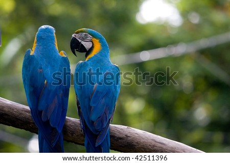 Macaws parrots couple standing on the tree branch and one is looking back - stock photo