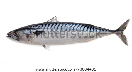 Mackerel on a white background - stock photo