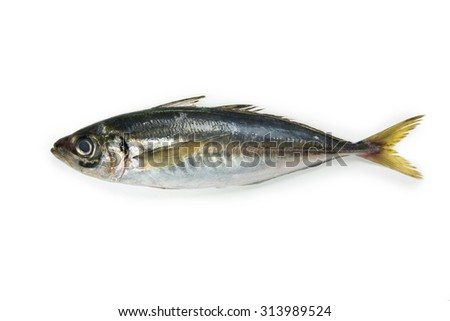 mackerel or Aji (Japanese horse mackerel /Trachurus japonicus ) of the Carangidae fish species, isolated on white.  - stock photo
