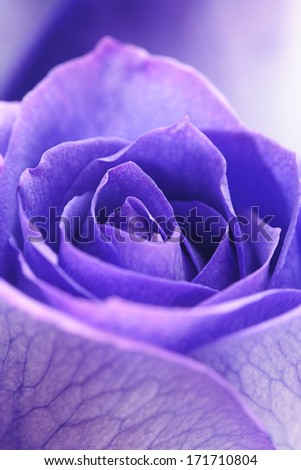 macro background of beautiful violet roses  - stock photo
