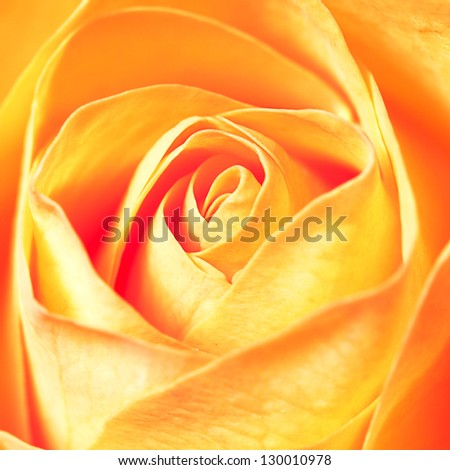 macro background of orange rose
