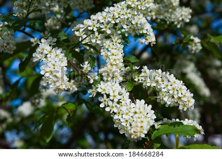 macro beautiful blooming branch of bird cherry on a sunny spring day in the garden - stock photo