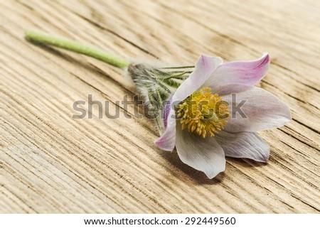 macro beautiful delicate purple flowers snowdrop  - stock photo