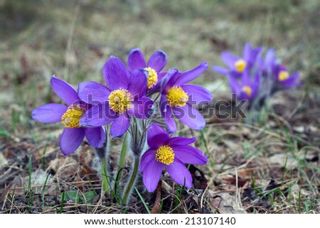 macro beautiful delicate purple flowers snowdrop in spring forest - stock photo