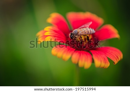 macro bee center  on the chamomile pink flower on the garden ,focused bee on park  ,be deep background blur-vivid flowers pink and orange - stock photo