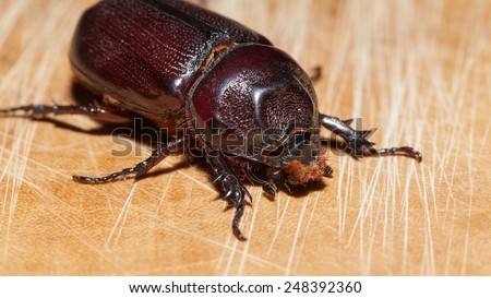 Macro Beetle,Rhinoceros beetle, Rhino beetle, Hercules beetle, Unicorn beetle, Horn beetle (Dynastinae) - stock photo
