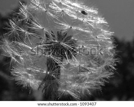 macro black and white of dandelion - stock photo