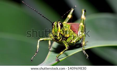 Macro Brazilian grasshopper - stock photo