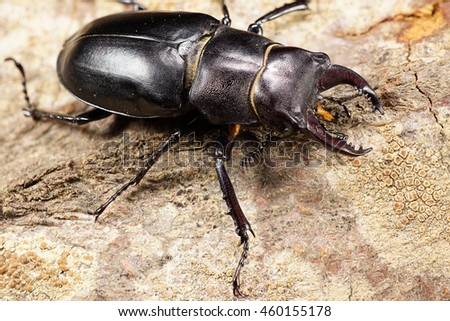 Macro brown head, chest, abdomen with walking legs of Caucasian stag beetle