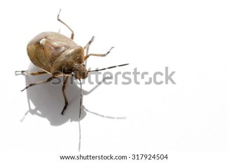 Macro bug isolated Picromerus bidens - stock photo